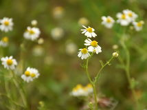 Chamomile flowers. In the field Royalty Free Stock Photos