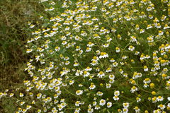 Chamomile flowers. In the field Royalty Free Stock Photo