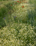 Chamomile flowers. In the field Royalty Free Stock Images