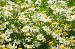 Chamomile flowers field. Background with beautiful blooming medical chamomiles. Alternative medicine, natural health care concept. Chamomile flowers field Stock Photography