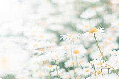 Chamomile flowers field background. Beautiful natural background with blooming daisies.Selective focus