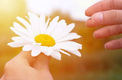 Chamomile flowers field background in sun light. Summer Daisies. Beautiful nature scene with blooming medical chamomilles. Chamomile flower with girl hands in stock images