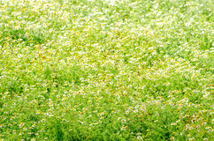 Chamomile flowers in a field on a bright sunny day Royalty Free Stock Photo