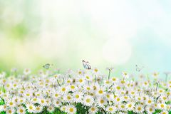 Chamomile flowers field with butterfly wide background in sun light. Summer Daisies. Beautiful nature scene, blooming medical. Chamomile flowers field wide royalty free stock image