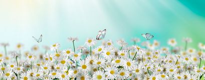 Chamomile flowers field with butterfly wide background in sun light. Summer Daisies. Beautiful nature scene, blooming medical. Chamomile flowers field wide stock photo