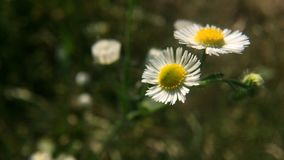 Chamomile flowers field close up with soft focus. Swaying in the wind.Wild flowers of camomile.Beautiful nature scene with blooming medical chamomilles.Summer stock video