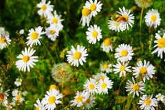 Chamomile flowers Royalty Free Stock Photos
