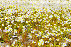 Chamomile flowers Stock Photo