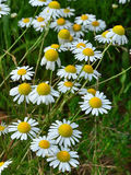 Chamomile flowers field royalty free stock images