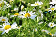 Chamomile flowers in the field. Medicinal wild Chamomile flowers in the field Stock Image