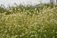 Chamomile flowers. Chamomile field in nature - close up Royalty Free Stock Photos