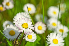 Chamomile flowers field Royalty Free Stock Photos