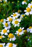 Some chamomile flowers. Chamomile flowers in a field in the spring royalty free stock photos