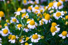 Some chamomile flowers. Chamomile flowers in a field in the spring royalty free stock image