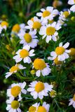 Some chamomile flowers. Chamomile flowers in a field in the spring royalty free stock images