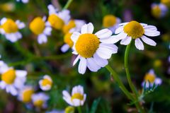 Some chamomile flowers Royalty Free Stock Photo