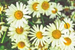 Chamomile flowers of medical chamomilles for alternative medicine. Chamomile flowers field. Summer Daisies. Beautiful nature scene with blooming medical stock photos