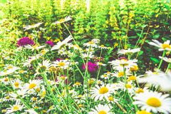 Chamomile flowers of medical chamomilles for alternative medicine. Chamomile flowers field. Summer Daisies. Beautiful nature scene with blooming medical stock images
