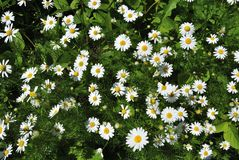 Chamomile flowers in the field. Summer in the meadownnn royalty free stock image