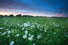 Chamomile flowers field at summer sunset Royalty Free Stock Image