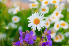 Chamomile among flowers stock photography