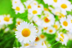 Chamomile among flowers royalty free stock images