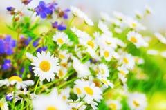 Chamomile among flowers royalty free stock photo