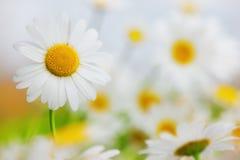 Chamomile among flowers stock image