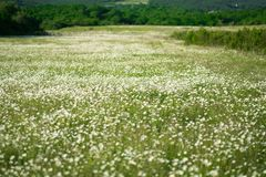 Chamomile flowers field wide background in sun light. Summer Daisies. Beautiful nature scene with blooming medical chamomilles. Al. Ternative medicine. Camomile royalty free stock image