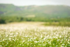 Chamomile flowers field wide background in sun light. Summer Daisies. Beautiful nature scene with blooming medical chamomilles. Al. Ternative medicine. Camomile stock image