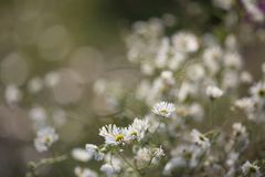 Chamomile Flowers In Garden on Late Autumn royalty free stock photography