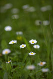 Chamomile flowers in grass Stock Images