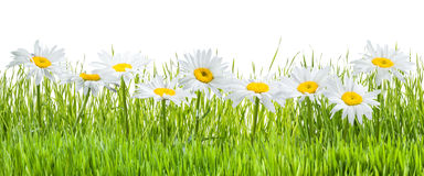 Chamomile Flowers and Grass Isolated Stock Photography