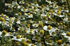 Chamomile Flowers and Grasses Blossom Beautifully royalty free stock photos