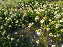 Chamomile flowers in green spring field. Growing wild royalty free stock images