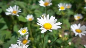 Chamomile flowers grow in the sun, slow motion. Beautiful blooming daisies with white petals on a green leaves and grass