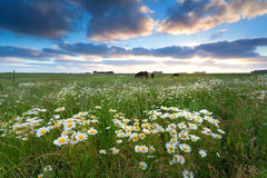 Chamomile flowers and horses on pasture Royalty Free Stock Photos