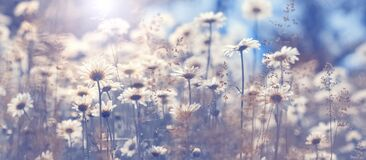 Free Chamomile Flowers In The Field Against The Blue Sky In The Sunlight, Border. Beautiful Spring Natural Art Background. Selective Royalty Free Stock Images - 177098009