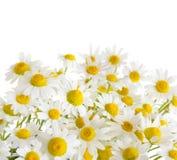 Chamomile flowers isolated on white Royalty Free Stock Photos