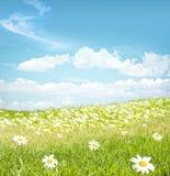Chamomile  flowers landscape Royalty Free Stock Image