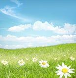 Chamomile  flowers landscape Stock Image