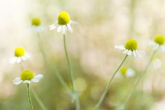Chamomile flowers landscape, green blossom background stock photography