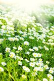 Chamomile flowers Stock Photos