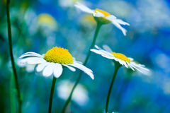Chamomile flowers on a meadow Royalty Free Stock Photography