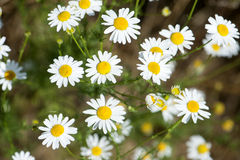 Chamomile flowers in the meadow,closeup detail stock image