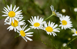 Chamomile flowers in the meadow, closeup detail stock photo