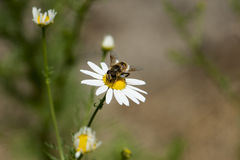 Chamomile flowers in the meadow, closeup detail with bee royalty free stock photos