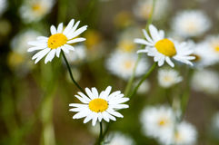 Chamomile flowers in the meadow, closeup detail royalty free stock image