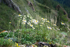 Chamomile flowers meadow. Growing on rocky ground Stock Images