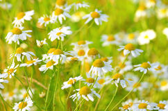 Chamomile flowers on meadow Royalty Free Stock Photography